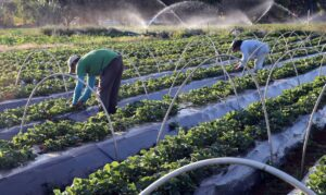Agricultura Valter Campanato  300x179 - Notícias